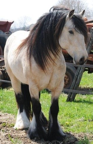 If I could choose any horse, I would choose this horse. A buttermilk buckskin Draft. Just beautiful.