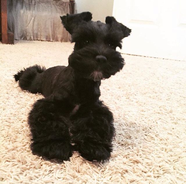 OMG this black schnauzer is absolutely adorable