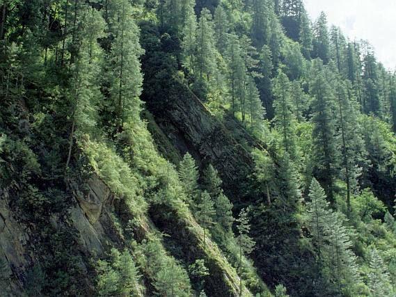 Tibet - porost spolu s Pinus armandii a P. densata subsp. tibetica