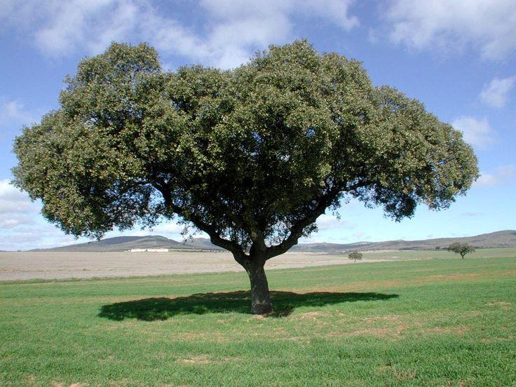 Encina: es el árbol más característico y extendido del clima mediterraneo. Es resistente a la sequía y se adapta a todo tipo de suelos. Su madera, muy dura y resistente, se empleaba tradicionalmente para la elaboración de ruedas, carpintería exterior , utensilios y carbón, y su fruto, la bellota, para alimentar al ganado. Los bosques de encinas mejor conservados se encuentran en Sierra Morena, Extremadura y la sierra de Guadarrama