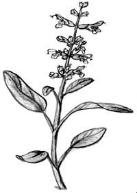 Orvosi zsálya és muskotályzsálya (Salvia officinalis, Salvia sclarea) TERHESSÉG ALATT TILOS