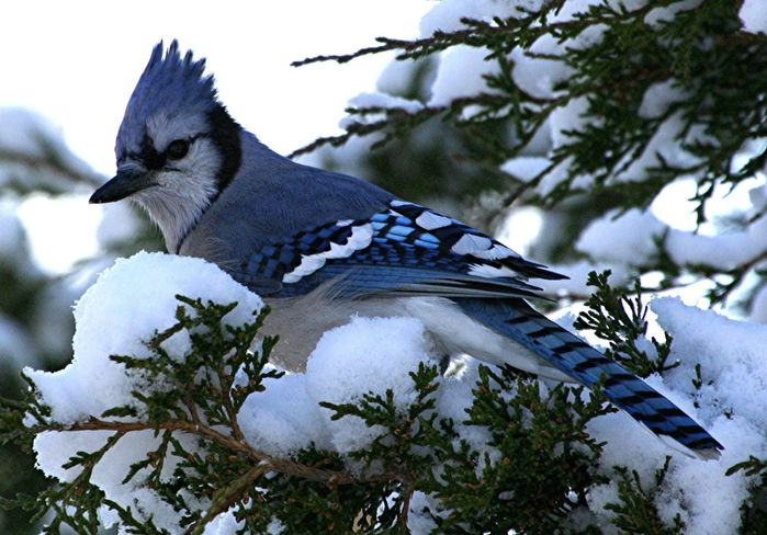 Картинки птицы зимой