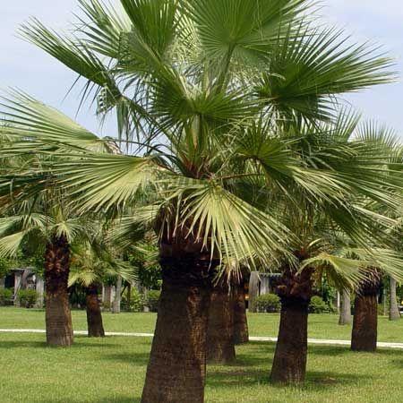 Photo+de++Washingtonia+filifera%2c+Palmier+de+Californie