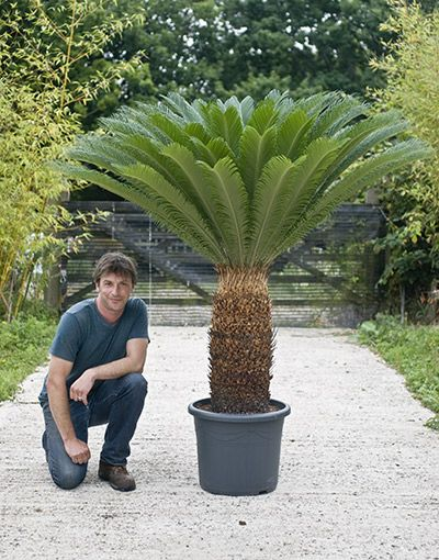 cycas revoluta sago palm house of plants tanaman eksotis pinterest victorian palms and. Black Bedroom Furniture Sets. Home Design Ideas