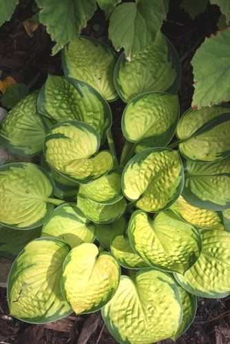 Hosta 'Rainforest Sunrise' - Hosta of the Year 2013