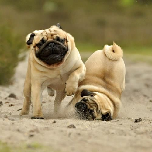"""Real life pugs know a """"well placed elbow"""" can insure a win!"""