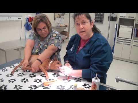 Join our Veterinary Technician Instructor, Virginia Rud, as she demonstrates step-by-step how to best trim a dog's nails.