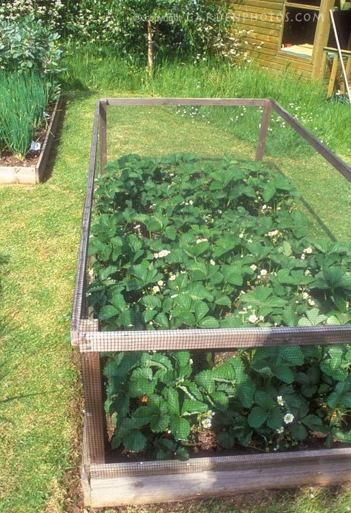 Perfect strawberry patch protected from birds/dog- want this!