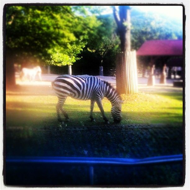 Are zebras black with white stripes, or white with black stripes? ^^