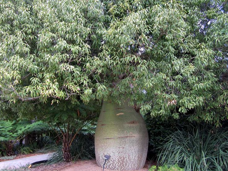 A Queensland bottle tree (Brachychiton rupestris) seen in King's Park and Botanic Garden in Perth, Western Australia.