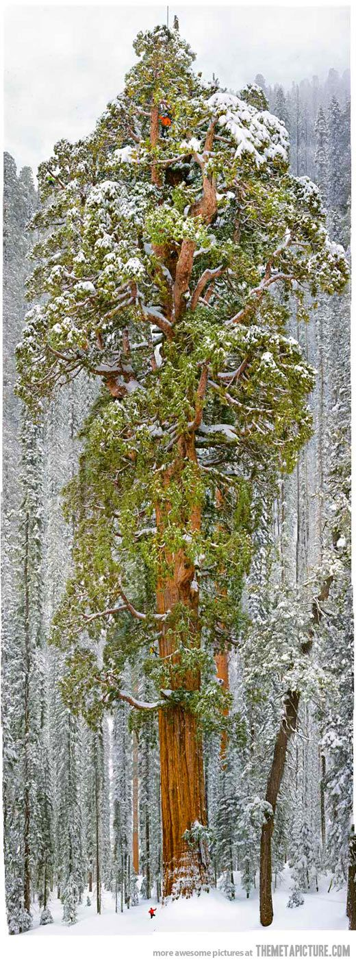 The President, a 54,000-cubic-foot gargantuan not far from the Grant in Sequoia National Park. After 3,240 years, the giant sequoia still is growing wider at a consistent rate, which may be what most surprised the scientists examining how the sequoias and coastal redwoods will be affected by climate change and whether these trees have a role to play in combatting it.