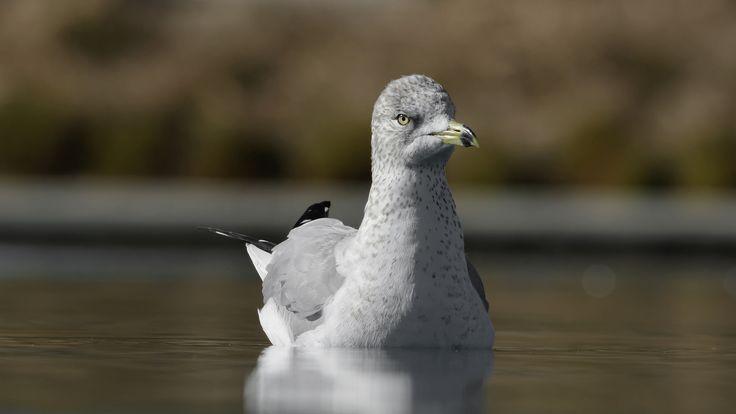 https://flic.kr/p/r618TA | Ringbilled Gull at Dos Lagos_DSC6912_DxO | Ringbilled Gull at Dos Lagos, Corona, CA.