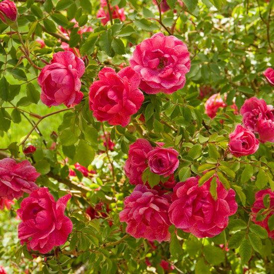 Pick one of these easy-to-grow rose varieties for the best blooms.