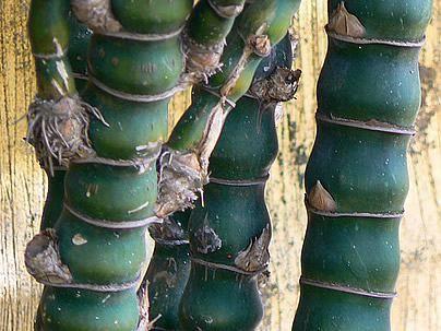 O bambu-barriga-de-buda é uma planta rizomatosa, entouceirada e de hastes e folhagem ornamental. Seu uso ainda é restrito, mas vem se popularizando nos últ