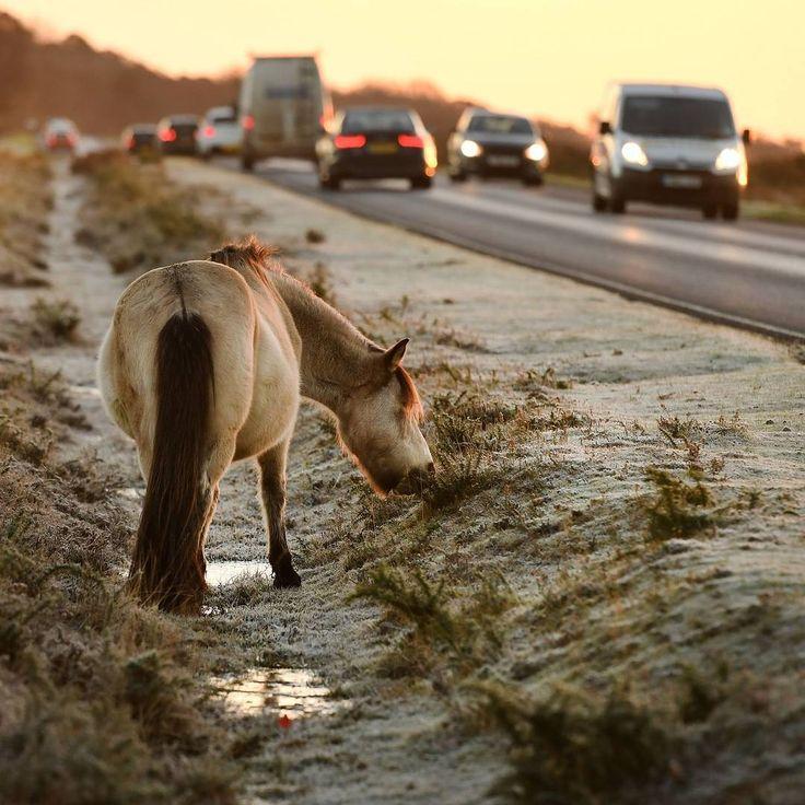 New Forest Pony - Ardan News