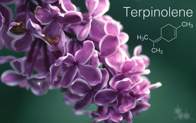 Terpinolene has a smokey or woody odor and is found in apple, cumin, lilac and tea tree. Terpinolene is also known as δ-terpinene, or delta terpinene. All terpinenes have the same molecular formula, weight and framework, but they differ in the placement of the carbon-carbon double bonds.