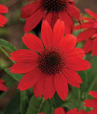 Echinacea, Sombrero Salsa Red.Echinacea Salsa Red is free bloomer from mid-summer, for months until fall.
