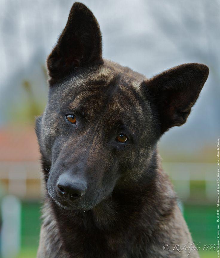 Les 25 meilleures id es de la cat gorie berger hollandais - Enlever poil de chien voiture ...