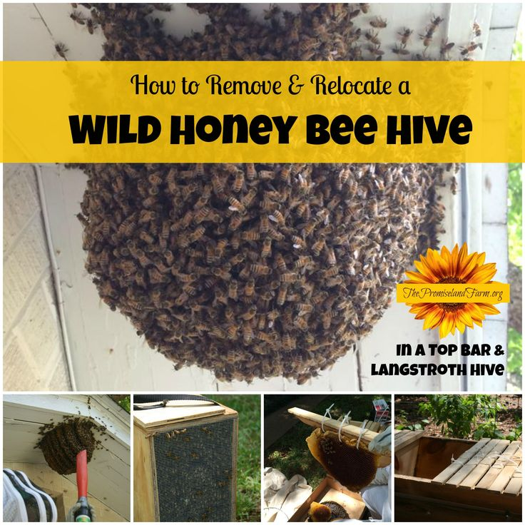 How to Remove and Relocate a Wild Honey Bee Hive (Video)