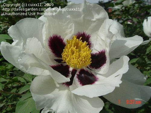View picture of Rock's Peony, Hybrid rockii, Tree Peony 'Zi Ban Bai' (Paeonia rockii) at Dave's Garden.  All pictures are contributed by our community.