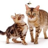 Bengal cat and Kitten with hornet