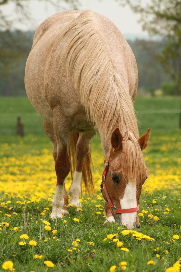 28 best images about Red Roan Horses on Pinterest ... - photo#20