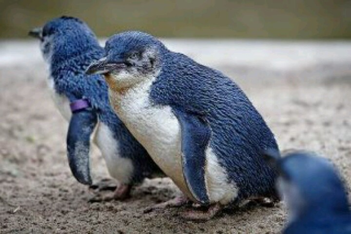 SMALLEST PENGUIN SPECIES :-The Fairy Penguin (Little Blue Penguin) is the smallest species of penguin in world. This penguin, which usually grows to an average of 33 cm (13 in) in height and 43 cm (17 in) in length, is found on the coastlines of southern Australia and New Zealand, with possible records from Chile. Like all penguins, the little penguin's wings have developed into flippers used for swimming.: Blue Penguins, Blue Fairies, Fairies Penguins, Guenon Monkey, Newzealand, Birds, New Zealand, Animal, Feathers Friends