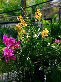 Vanda and Dendrobium Orchids