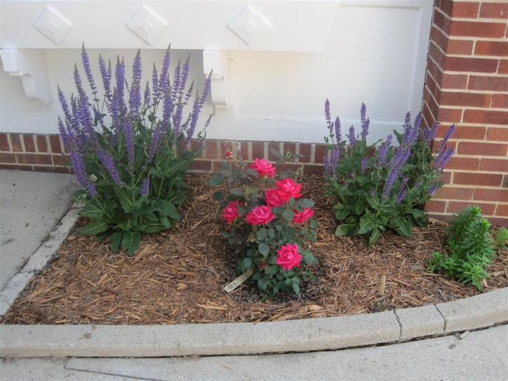 Salvia and double knockout rose