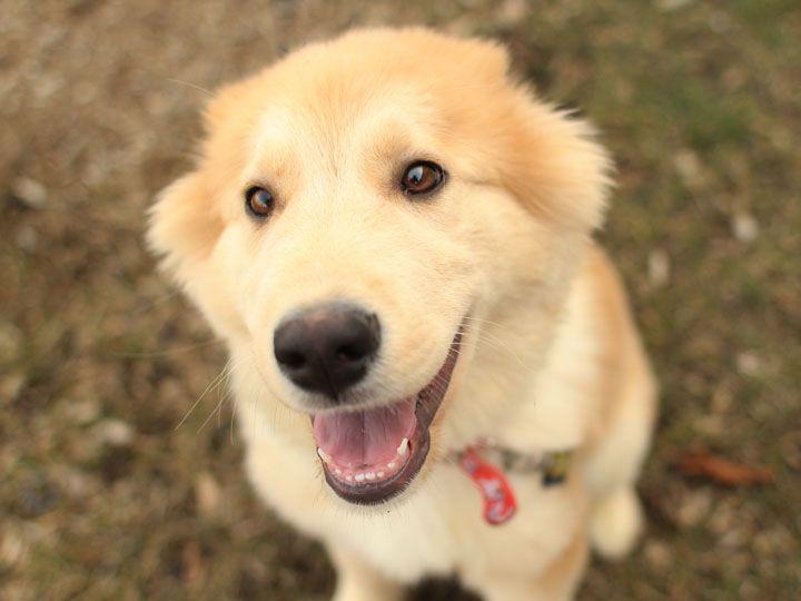 Maybe Apollo Is A Golden Retriever Husky Mix Happy Pinterest