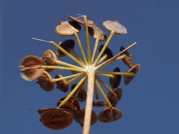 Palsternakka, Pastinaca sativa - Kukkakasvit - LuontoPortti