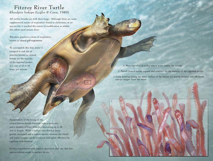 Tortugas acuáticas pueden respirar a través de la cloaca, el orificio por el cual orinan, defecan y son fecundadas