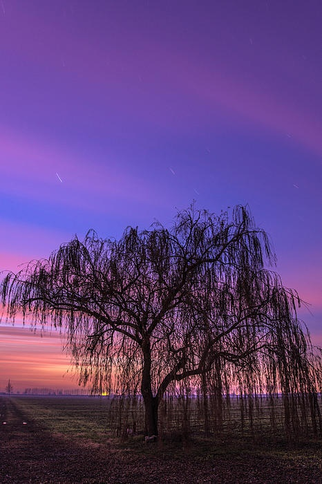 Weeping Willow at night in Winter. Salice Piangente.
