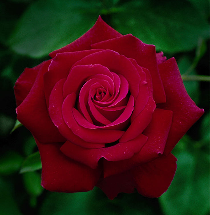 roses  hybrid | Firefighter Hybrid Tea Rose Sold Out for 2013 | crgardencentre.com