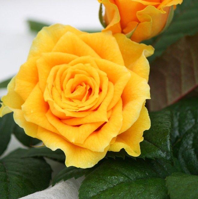 Pirol    Keltainen ruusu on mielestäni maailman kaunein. se on erikoista koska muutenhan inhoan keltaista väriä.