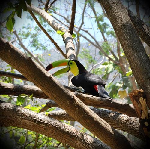 Tucán de pecho amarillo o tucán real #Chiapas