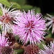 Bracatinga-rósea - Mimosa flocculosa