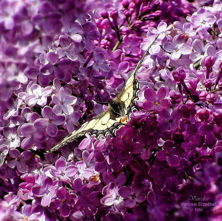 Pillangó és Orgonavirág