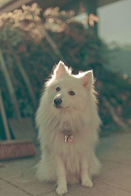 91 Best Kevin Images On Pinterest American Eskimo Dog