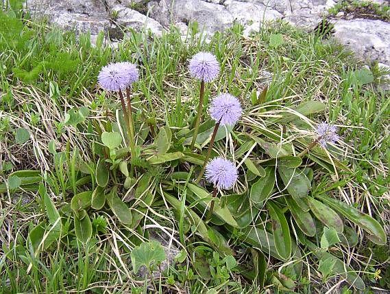 Globularia Nudicaulis L Koulenka Bezlista Guľocka Plants Wild Flowers Botany