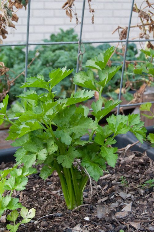 Grow Celery In Your Backyard Easy New Way Blog With Pics 400 x 300