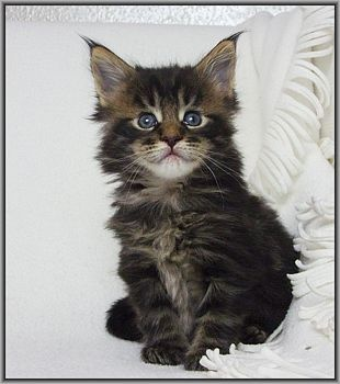 Visit SugarIslands #MaineCoons website www.absolutelycats.com/23MaineCoon2.html #cats #kittens