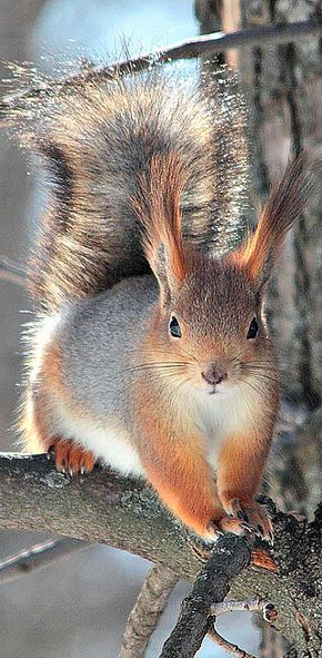 ABERT'S SQUIRREL....a tree squirrel found in the Rocky Mountains from United States to Mexico....closely associated with cool dry ponderosa pine forests....measures 18–23 inches long including a tail of 7.5–10 inches....its most noticeable feature is its 1 inch ear tufts