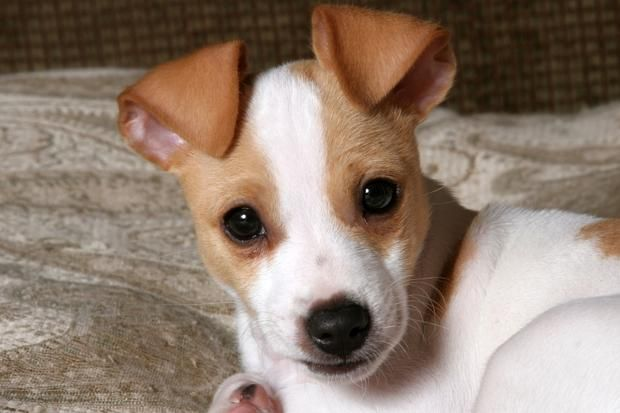 10 Energetic Facts About the Jack Russell Terrier | Mental Floss