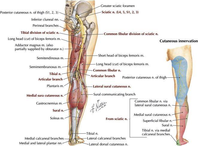 Common peroneal nerve anatomy