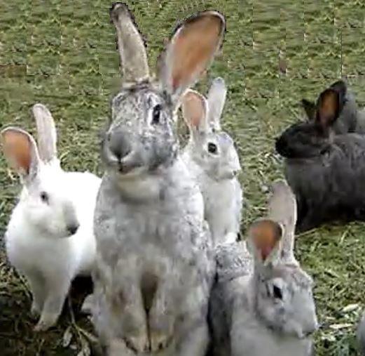 """Conigli, solo in Europa ci sono più di 60 razze di coniglio riconosciute, dal coniglo """"nano coloratio"""" tra i più piccoli con un peso massimo da adulti di 1,2 Kg, al coniglio """"gigante di fiandra"""" con un peso anche di 8 Kg"""