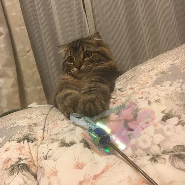けだの大好きなおもちゃ新調✨✨ . ねこのおもちゃって寿命短い!笑 けだはカチャカチャする音が大好きで猛突進してくるから速攻羽が取れる😂 もう何個目だろ😂 喜んでてかわいいから買ってあげちゃう💗 このおもちゃシリーズが一番反応が良い! . あと綿棒が本当に大好き! #ねこあるある  #けだま #猫 #愛猫 #スコティッシュフォールド #子猫 #地元 #帰省 #猫好きさんと繋がりたい #cat #movie #ねこ動画 #ブラウンタビー #垂れ耳 #困り顔 #🐱 #おめめくりくり