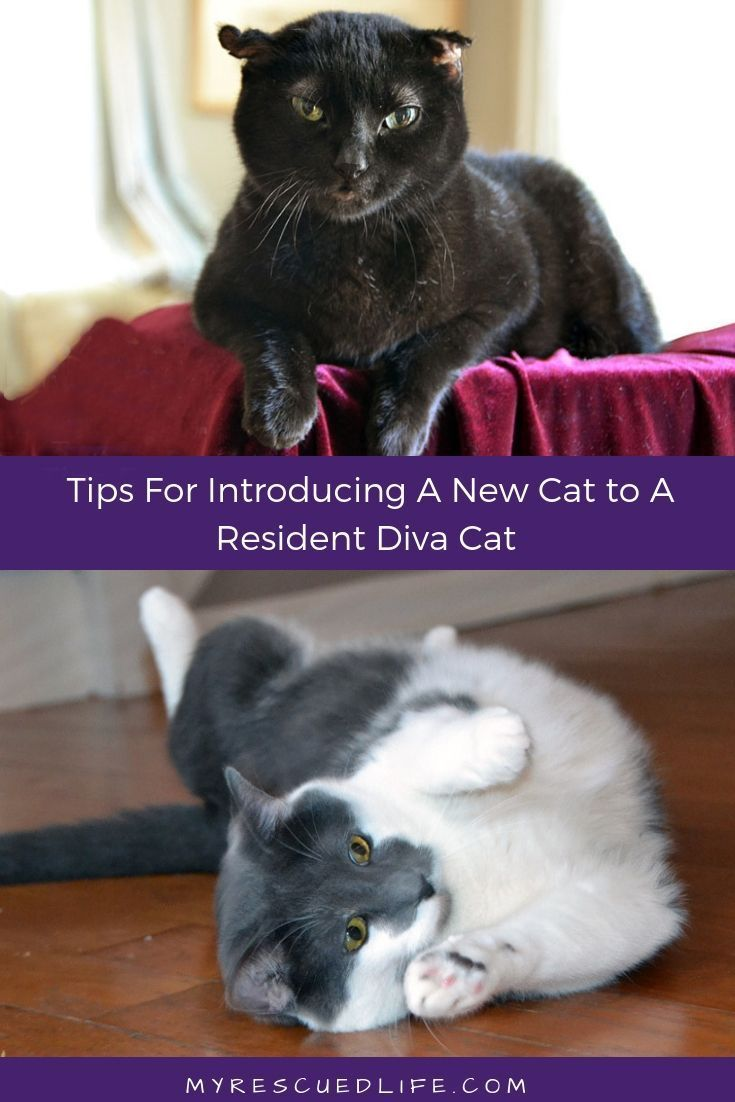 Cat Introductions And Post Adoption Drama Introducing A New Cat How To Introduce Cats Cats