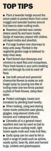 Companion plant  herbs to repel pests
