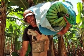 Image result for farmer harvesting banana
